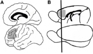 Figure 1. The shaded regions indicate the location of the prefrontal cortex in humans (A) and in rats (B) (Bizon, Foster, Alexander, & Glisky, 2012).