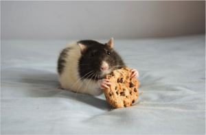 cookie rat