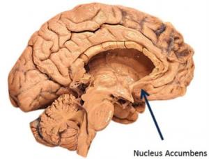 nucleusaccumbens