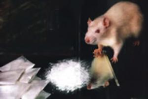 quinn rat